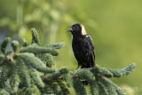 Orioles, quiscales, carouges, goglus... / Orioles, Grackles, Blackbirds