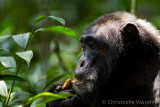 Chimpanzees of Kibale (Uganda)