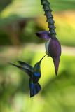 Colibri sur une fleur de bananier