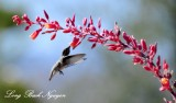 Hummingbird, Palm  Desert, California