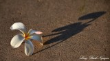 flower and shadow, Big Island, Hawaii