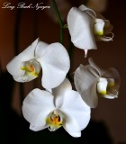 white orchids, Fairmont Orchid, Big Island, Hawaii
