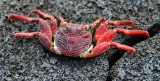 Red Crab, Big Island, Hawaii