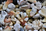 Coral, Kekaha Kai State Park, Big Island, Hawaii