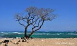 Windswept Tree, Kehaha Kai State Park, Kailua-Kona, Hawaii
