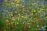 Field of Flowers, Royal Botanical Garden, Edinburgh, Scotland, UK