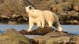 Momma and Baby Polar Bear, Churchill, Canada