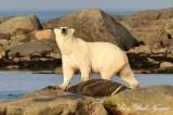 Momma Polar Bear, Hudson Bay, Churchill, Canada