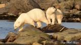 Last Look Polar Bears Hudson Bay Churchill Canada
