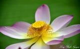 Lotus Flower Royal Botanic Garden Edinburgh UK