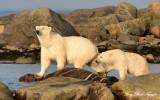 Momma and Baby Polar Bear Hudson Bay Churchill Canada