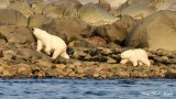Mom checks for security Momma and Baby Polar Bears Hudson Bay Churchill Canada