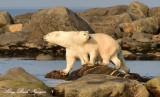 Momma and Baby Polar Bear Churchill Canada