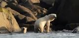 Dripping Wet Polar Bears Hudson Bay Churchill Canada