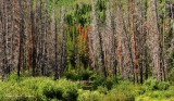 Burned forest Red Cliff Colorado