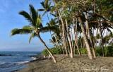 Palm Tree Forest, Big Island, Hawaii 2015