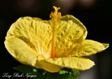 Yellow Hibiscus, Fairmont Orchid, Big Island, Hawaii