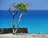 Wind Swept Tree, Maniniowali Beach, Kailua-Kona, Big Island, Hawaii