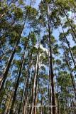 Eucalyptus Forest, Honokaa, Big Island, Hawaii