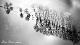 Row of Tree in flooded field, Chimakum, Washington 215bw