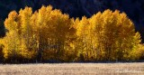 Flaming Aspen in Hailey Idaho 2013 094