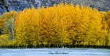 Flaming Aspen in Hailey Idaho 2013