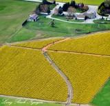 Daffodil Field Mount Vernon Washington 194