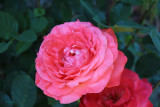 Gail's Rose in Willits California