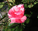 Gail's other Rose