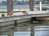 Duck Watching!