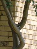 Woody Woodpecker in Da Hood