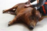 Piglet enjoying a scratch