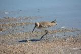 Another bird on the beach 1-31-17
