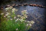 Flowers of Rock Creek
