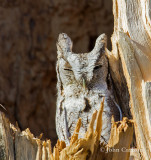 Eastern Screech-owl-4555.jpg