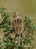 bairds sparrow-5981.jpg