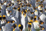 king penguin-1377.jpg