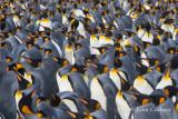king penguin-1341.jpg