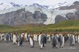 king penguin-1213.jpg