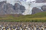 king penguin-1212.jpg