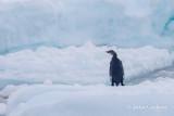 emperor penguin-2673.jpg