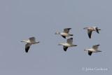 Snow Goose-6052.jpg