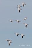 snow goose-6097.jpg