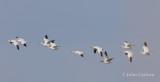 snow goose-6173.jpg