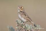 bairds sparrow-6841.jpg