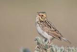 bairds sparrow-6929.jpg