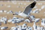 Snow Goose-4286.jpg