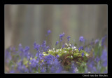 7689 wood sorrel and bluebell