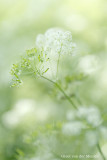 2N9B8463 cow parsley