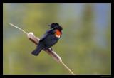 4276 redwinged blackbird